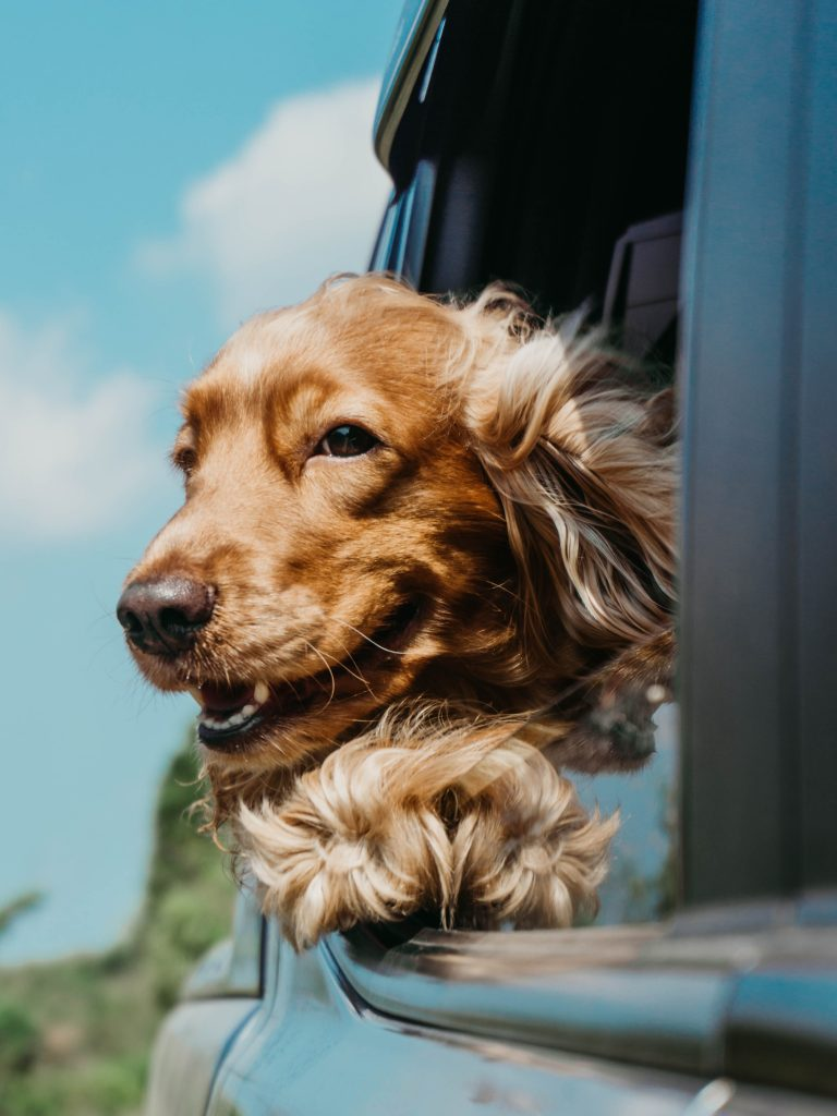 dog in a car window